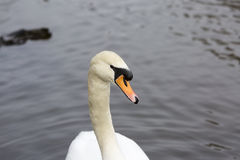 Retrato del cisne Imagen de archivo libre de regalías