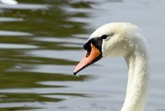 Retrato del cisne Imagen de archivo