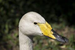 Retrato del cisne de la falsedad imagen de archivo