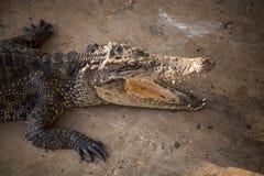 Retrato del cocodrilo con la boca abierta imagenes de archivo