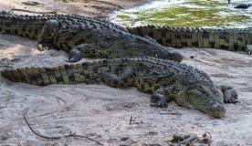 Retrato del cocodrilo grande en los bancos del río Grumeti, Serengeti Imagen de archivo