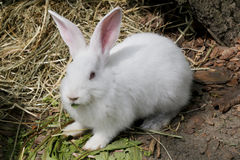 Retrato del conejo blanco Fotografía de archivo