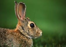 Retrato del conejo de conejo de rabo blanco Foto de archivo libre de regalías