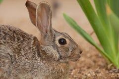 Retrato del conejo de conejo de rabo blanco Imagenes de archivo