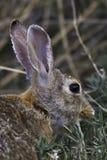 Retrato del conejo de rabo blanco del desierto Fotografía de archivo