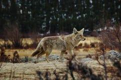 Retrato del coyote Imagen de archivo libre de regalías