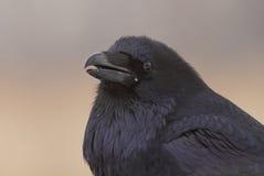 Retrato del cuervo Fotografía de archivo libre de regalías
