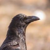Retrato del cuervo común Imagen de archivo libre de regalías