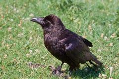 Retrato del cuervo negro Fotografía de archivo libre de regalías