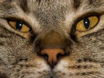Retrato del retrato de un gato contento gris-marrón gordo-observado mullido lindo fotografía de archivo libre de regalías