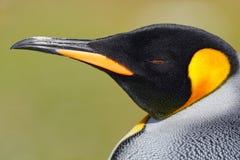 Retrato del detalle del pingüino de rey en la Antártida Cabeza del pingüino Pájaro de Falkland Islands Foto de archivo