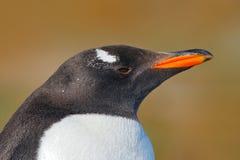 Retrato del detalle del pingüino Pingüino de Gentoo, Pygoscelis Papua, Falkland Islands Cabeza del pájaro de la Antártida Escena  Fotografía de archivo libre de regalías