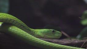Retrato del detalle del primer de la caza de la serpiente de la mamba verde en el bosque oscuro almacen de video