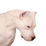 Retrato del Dogo Argentino aislado en el fondo blanco Fotografía de archivo libre de regalías