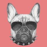 Retrato del dogo francés con el cuello y las gafas de sol Fotos de archivo libres de regalías