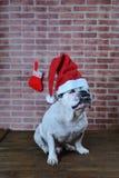 Retrato del dogo francés con el sombrero de la Navidad Imágenes de archivo libres de regalías
