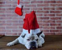 Retrato del dogo francés con el sombrero de la Navidad Imagen de archivo