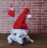 Retrato del dogo francés con el sombrero de la Navidad Imagen de archivo libre de regalías