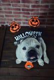 Retrato del dogo francés con los apoyos de Halloween Imagen de archivo libre de regalías