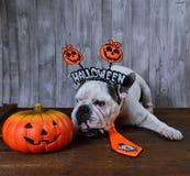 Retrato del dogo francés con los apoyos de Halloween Imagen de archivo
