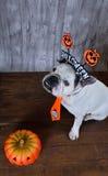Retrato del dogo francés con los apoyos de Halloween Fotos de archivo