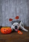 Retrato del dogo francés con los apoyos de Halloween Foto de archivo libre de regalías