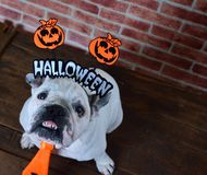 Retrato del dogo francés con los apoyos de Halloween Fotografía de archivo libre de regalías