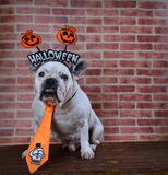 Retrato del dogo francés con los apoyos de Halloween Foto de archivo
