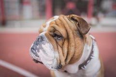 Retrato del dogo inglés Imagen de archivo