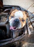 Retrato del dogo inglés Fotos de archivo