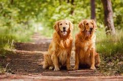Retrato del dos perros Foto de archivo libre de regalías