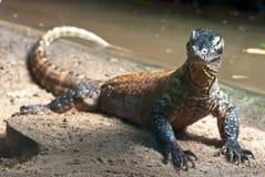 Retrato del dragón de Komodo Fotografía de archivo