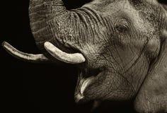 Retrato del elefante Foto de archivo libre de regalías
