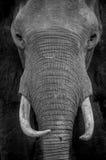Retrato del elefante Fotos de archivo