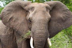 Retrato del elefante Imagenes de archivo