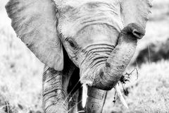 Retrato del elefante en blanco y negro Foto de archivo libre de regalías