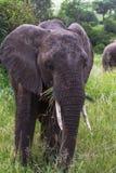 Retrato del elefante muy enorme Tarangire, Tanzania Imagenes de archivo
