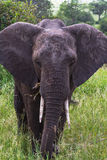 Retrato del elefante muy grande Tarangire, Tanzania Imagenes de archivo