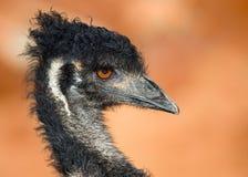 Retrato del emú Imagen de archivo