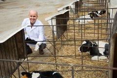 Retrato del empleado de sexo masculino maduro del veterinario con los ganados lecheros en granja Fotografía de archivo