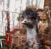 Retrato del Emu Imágenes de archivo libres de regalías