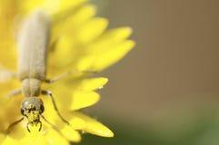 Retrato del escarabajo con la cara del polen Foto de archivo
