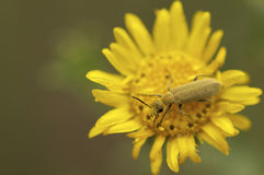 Retrato del escarabajo con la cara del polen Imagen de archivo