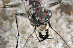 Retrato del escarabajo de Cicindelid Imágenes de archivo libres de regalías