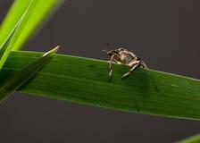 Retrato del escarabajo de hocico Imagen de archivo libre de regalías