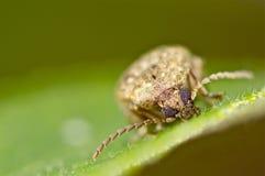 Retrato del escarabajo en una hoja verde Fotografía de archivo
