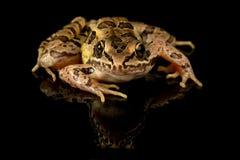 Retrato del estudio de la rana de Pickerel imagen de archivo libre de regalías