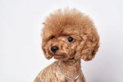 Retrato del estudio del perrito del caniche Imagen de archivo libre de regalías