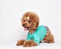 Retrato del estudio del perrito del caniche Fotografía de archivo libre de regalías