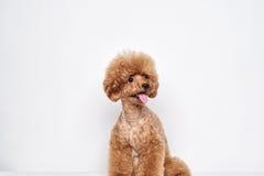 Retrato del estudio del perrito del caniche Foto de archivo